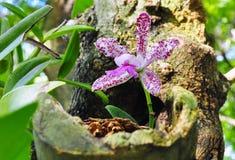 Lös orkidé på trädet Arkivfoton