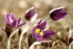 Lös Pasque blomma, vulgaris Pulsatilla Arkivfoto