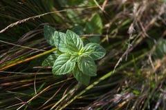 Lös pepparmint i gräset Arkivfoton