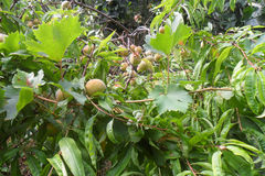 Lös persika under vingårdar Arkivfoton