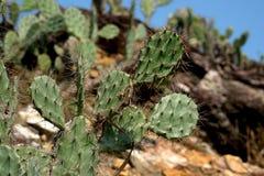 Lös plan kaktus i det torra och sandiga området av det Binh Dinh landskapet, Vietnam Arkivbilder