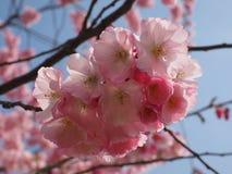 Lös plumtree i vår i solen Royaltyfria Bilder