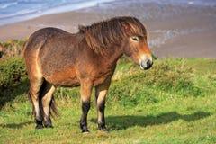 Lös ponny Fotografering för Bildbyråer