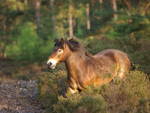 Lös ponny Royaltyfria Bilder
