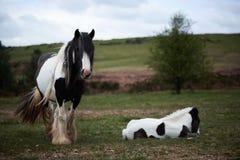 Lös ponny, på ett welsh berg Royaltyfri Bild