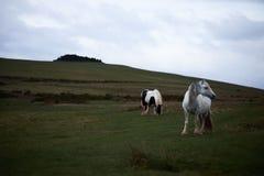 Lös ponny, på ett welsh berg Arkivbilder