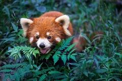 Lös röd panda i Kina Royaltyfri Foto