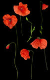 Lös röd vallmoblommauppsättning på svart Royaltyfri Fotografi