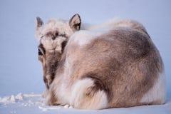 Lös ren Vinter Svalbard med massiva horn på kronhjort i snö Norge Djurlivplats från naturen Spitsbergen Arkivbilder