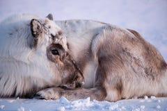 Lös ren Vinter Svalbard med massiva horn på kronhjort i snö Norge Djurlivplats från naturen Spitsbergen Arkivfoto