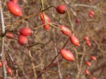 Lös rosa växt för höftRosa canina Röda nypon i natur Royaltyfri Foto