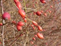 Lös rosa växt för höftRosa canina Röda nypon i natur Royaltyfri Fotografi