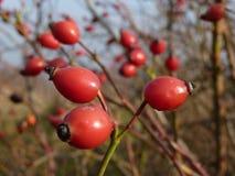 Lös rosa växt för höftRosa canina Röda nypon i natur Royaltyfria Foton