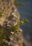 Lös rose.GN Arkivbild