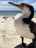 Lös södra australisk kormoran Royaltyfri Fotografi