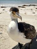 Lös södra australisk kormoran Royaltyfria Foton