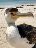 Lös södra australisk kormoran Fotografering för Bildbyråer