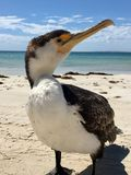 Lös södra australisk kormoran Royaltyfri Bild