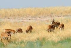 Lös Saiga antilopflock i den Kalmykia stäppen Royaltyfria Foton