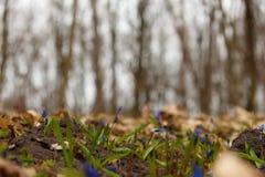 Lös Scilla siberica Royaltyfri Fotografi