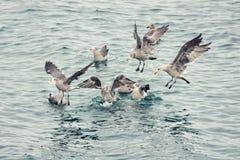 Lös seagullsscramble för mat royaltyfria bilder
