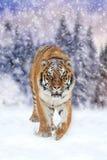 Lös siberian tiger Royaltyfri Foto