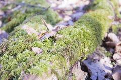 Lös skog, stupat träd i remsan för lös skog för skog den median- Royaltyfri Foto