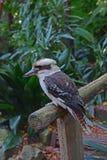 Lös skrattfågel som vilar på trappuppgånghållaren i Wendy Secret Garden arkivfoto