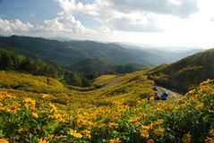 Lös solros i Thailand Arkivbild