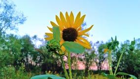Lös solros med mesquiteskogbakgrund royaltyfria foton