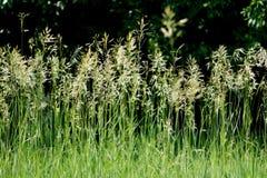 Lös sommargräsbakgrund royaltyfri foto