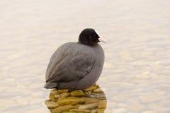 Lös sothöna som har ett bad i sjön Arkivfoto