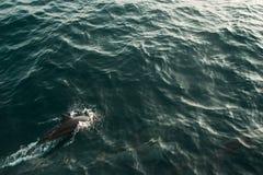 Lös spinnaredelfinsimning i det indiska havet Djurlivnaturbakgrund Utrymme för text Turister i en zodiac visar ändstationen av de royaltyfri fotografi