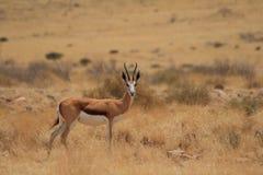 Lös springbock Namibia Arkivbilder
