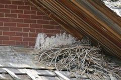 Lös stor Horned uggla som bygga bo på att förmultna taket Royaltyfria Foton