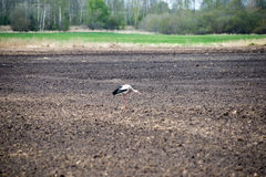 Lös stork i ängen Fotografering för Bildbyråer