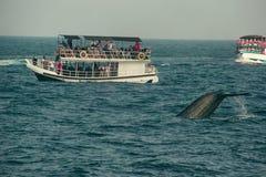 Lös svans för blått val som djupt dyker, indiskt hav Djurlivnaturbakgrund Turist- intryck Affärsföretaglopp, turismbransch Royaltyfria Bilder