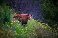 Lös svart björn i fält av blommor Royaltyfri Fotografi
