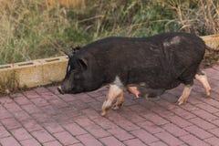 Lös svart galt eller svin som går på äng Djurliv i naturlig livsmiljö fotografering för bildbyråer