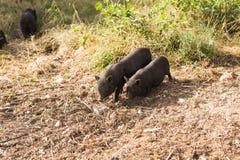 Lös svart galt eller svin som går på äng Djurliv i naturlig livsmiljö royaltyfri foto