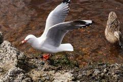 Lös Tasmanian and och Seagull Fotografering för Bildbyråer
