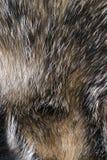Lös textur av pälsbäverskinnet Royaltyfri Foto