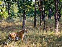 Lös tiger i djungeln india 17 2010 för india för elefant för bandhavgarhbandhavgarthområde umaria för ritt för pradesh för nation Royaltyfri Bild