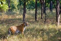 Lös tiger i djungeln india 17 2010 för india för elefant för bandhavgarhbandhavgarthområde umaria för ritt för pradesh för nation Royaltyfri Foto