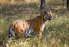 Lös tiger i djungeln india 17 2010 för india för elefant för bandhavgarhbandhavgarthområde umaria för ritt för pradesh för nation Arkivfoto
