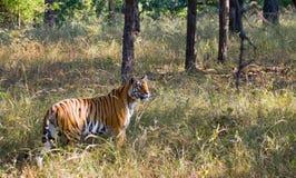 Lös tiger i djungeln india 17 2010 för india för elefant för bandhavgarhbandhavgarthområde umaria för ritt för pradesh för nation Fotografering för Bildbyråer