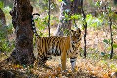 Lös tiger i djungeln india 17 2010 för india för elefant för bandhavgarhbandhavgarthområde umaria för ritt för pradesh för nation Arkivfoton
