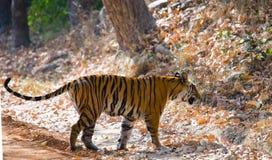 Lös tiger i djungeln india 17 2010 för india för elefant för bandhavgarhbandhavgarthområde umaria för ritt för pradesh för nation Arkivbild