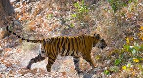 Lös tiger i djungeln india 17 2010 för india för elefant för bandhavgarhbandhavgarthområde umaria för ritt för pradesh för nation Royaltyfri Fotografi
