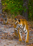 Lös tiger i djungeln india 17 2010 för india för elefant för bandhavgarhbandhavgarthområde umaria för ritt för pradesh för nation Royaltyfria Bilder